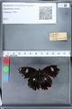 http://mczbase.mcz.harvard.edu/specimen_images/ent-lepidoptera/images/2010_03_05/IMG_034788.JPG