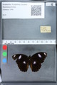 http://mczbase.mcz.harvard.edu/specimen_images/ent-lepidoptera/images/2010_03_05/IMG_034789.JPG