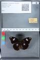 http://mczbase.mcz.harvard.edu/specimen_images/ent-lepidoptera/images/2010_03_05/IMG_034790.JPG