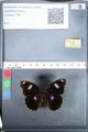 http://mczbase.mcz.harvard.edu/specimen_images/ent-lepidoptera/images/2010_03_05/IMG_034794.JPG