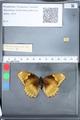 http://mczbase.mcz.harvard.edu/specimen_images/ent-lepidoptera/images/2010_03_05/IMG_034797.JPG