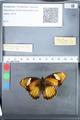 http://mczbase.mcz.harvard.edu/specimen_images/ent-lepidoptera/images/2010_03_05/IMG_034800.JPG
