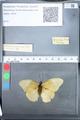 http://mczbase.mcz.harvard.edu/specimen_images/ent-lepidoptera/images/2010_03_05/IMG_034804.JPG