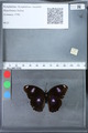 http://mczbase.mcz.harvard.edu/specimen_images/ent-lepidoptera/images/2010_03_09/IMG_035302.JPG