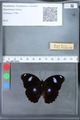 http://mczbase.mcz.harvard.edu/specimen_images/ent-lepidoptera/images/2010_03_09/IMG_035303.JPG