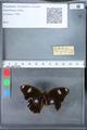 http://mczbase.mcz.harvard.edu/specimen_images/ent-lepidoptera/images/2010_03_09/IMG_035305.JPG