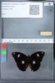 http://mczbase.mcz.harvard.edu/specimen_images/ent-lepidoptera/images/2010_03_09/IMG_035307.JPG