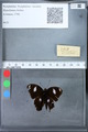 http://mczbase.mcz.harvard.edu/specimen_images/ent-lepidoptera/images/2010_03_09/IMG_035311.JPG