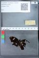 http://mczbase.mcz.harvard.edu/specimen_images/ent-lepidoptera/images/2010_03_09/IMG_035312.JPG