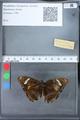http://mczbase.mcz.harvard.edu/specimen_images/ent-lepidoptera/images/2010_03_09/IMG_035314.JPG