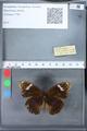 http://mczbase.mcz.harvard.edu/specimen_images/ent-lepidoptera/images/2010_03_09/IMG_035315.JPG