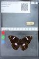 http://mczbase.mcz.harvard.edu/specimen_images/ent-lepidoptera/images/2010_03_09/IMG_035316.JPG