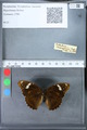 http://mczbase.mcz.harvard.edu/specimen_images/ent-lepidoptera/images/2010_03_09/IMG_035317.JPG