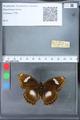 http://mczbase.mcz.harvard.edu/specimen_images/ent-lepidoptera/images/2010_03_09/IMG_035318.JPG