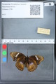 http://mczbase.mcz.harvard.edu/specimen_images/ent-lepidoptera/images/2010_03_09/IMG_035320.JPG