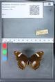 http://mczbase.mcz.harvard.edu/specimen_images/ent-lepidoptera/images/2010_03_09/IMG_035321.JPG