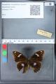http://mczbase.mcz.harvard.edu/specimen_images/ent-lepidoptera/images/2010_03_09/IMG_035323.JPG