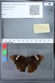 http://mczbase.mcz.harvard.edu/specimen_images/ent-lepidoptera/images/2010_03_09/IMG_035324.JPG
