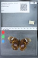 http://mczbase.mcz.harvard.edu/specimen_images/ent-lepidoptera/images/2010_03_09/IMG_035326.JPG