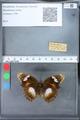 http://mczbase.mcz.harvard.edu/specimen_images/ent-lepidoptera/images/2010_03_09/IMG_035327.JPG