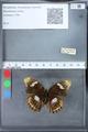 http://mczbase.mcz.harvard.edu/specimen_images/ent-lepidoptera/images/2010_03_09/IMG_035330.JPG