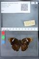http://mczbase.mcz.harvard.edu/specimen_images/ent-lepidoptera/images/2010_03_09/IMG_035331.JPG
