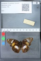 http://mczbase.mcz.harvard.edu/specimen_images/ent-lepidoptera/images/2010_03_09/IMG_035332.JPG