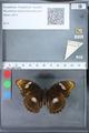 http://mczbase.mcz.harvard.edu/specimen_images/ent-lepidoptera/images/2010_03_09/IMG_035333.JPG