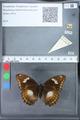 http://mczbase.mcz.harvard.edu/specimen_images/ent-lepidoptera/images/2010_03_09/IMG_035334.JPG