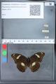 http://mczbase.mcz.harvard.edu/specimen_images/ent-lepidoptera/images/2010_03_09/IMG_035335.JPG