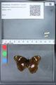 http://mczbase.mcz.harvard.edu/specimen_images/ent-lepidoptera/images/2010_03_09/IMG_035336.JPG