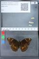 http://mczbase.mcz.harvard.edu/specimen_images/ent-lepidoptera/images/2010_03_09/IMG_035337.JPG