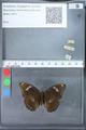 http://mczbase.mcz.harvard.edu/specimen_images/ent-lepidoptera/images/2010_03_09/IMG_035338.JPG