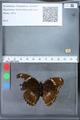 http://mczbase.mcz.harvard.edu/specimen_images/ent-lepidoptera/images/2010_03_09/IMG_035340.JPG
