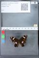 http://mczbase.mcz.harvard.edu/specimen_images/ent-lepidoptera/images/2010_03_09/IMG_035342.JPG