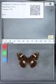 http://mczbase.mcz.harvard.edu/specimen_images/ent-lepidoptera/images/2010_03_09/IMG_035343.JPG