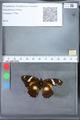 http://mczbase.mcz.harvard.edu/specimen_images/ent-lepidoptera/images/2010_03_09/IMG_035344.JPG