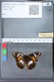http://mczbase.mcz.harvard.edu/specimen_images/ent-lepidoptera/images/2010_03_09/IMG_035345.JPG