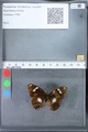 http://mczbase.mcz.harvard.edu/specimen_images/ent-lepidoptera/images/2010_03_09/IMG_035346.JPG
