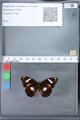 http://mczbase.mcz.harvard.edu/specimen_images/ent-lepidoptera/images/2010_03_09/IMG_035347.JPG