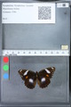 http://mczbase.mcz.harvard.edu/specimen_images/ent-lepidoptera/images/2010_03_09/IMG_035348.JPG