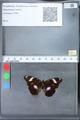 http://mczbase.mcz.harvard.edu/specimen_images/ent-lepidoptera/images/2010_03_09/IMG_035349.JPG