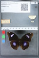 http://mczbase.mcz.harvard.edu/specimen_images/ent-lepidoptera/images/2010_03_12/IMG_035917.JPG
