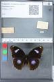 http://mczbase.mcz.harvard.edu/specimen_images/ent-lepidoptera/images/2010_03_12/IMG_035918.JPG