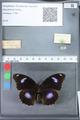 http://mczbase.mcz.harvard.edu/specimen_images/ent-lepidoptera/images/2010_03_12/IMG_035919.JPG