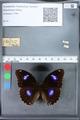 http://mczbase.mcz.harvard.edu/specimen_images/ent-lepidoptera/images/2010_03_12/IMG_035934.JPG