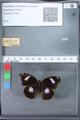 http://mczbase.mcz.harvard.edu/specimen_images/ent-lepidoptera/images/2010_03_12/IMG_035935.JPG