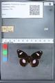 http://mczbase.mcz.harvard.edu/specimen_images/ent-lepidoptera/images/2010_03_12/IMG_035937.JPG
