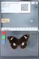 http://mczbase.mcz.harvard.edu/specimen_images/ent-lepidoptera/images/2010_03_12/IMG_035942.JPG