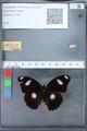 http://mczbase.mcz.harvard.edu/specimen_images/ent-lepidoptera/images/2010_03_12/IMG_035943.JPG